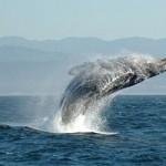 Happy whale.  (Source:Wikipedia)