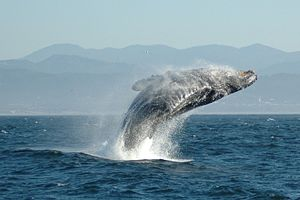 Happy whale.  (Source:Wikipedia)