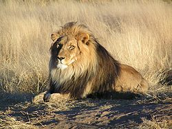 250px-Lion_waiting_in_Nambia