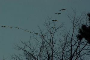 Canadian Geese in flight. (Source:Wikipedia)